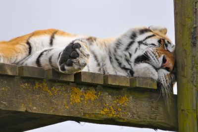 TigerSleepy (1)