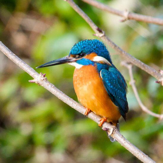 KingfisherBig