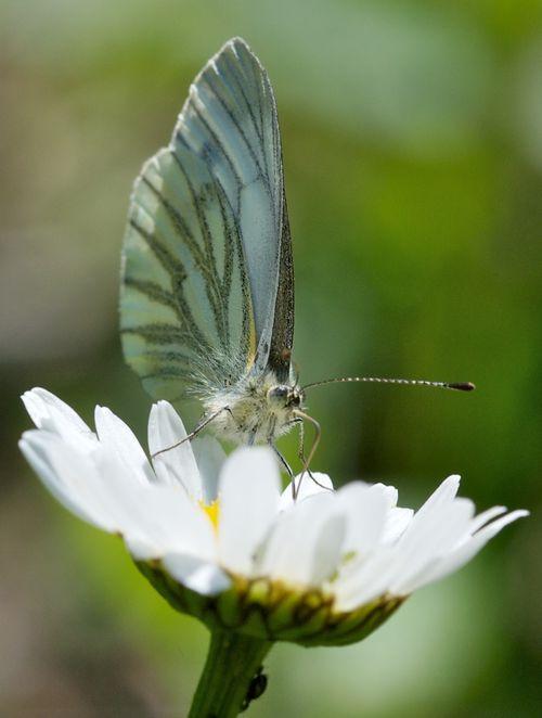 GreenVeinedWhiteButterfly 6961