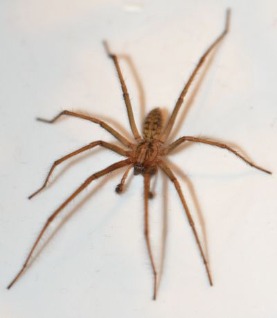Pictures of Big Brown Spiders http://alwaysthecritic.typepad.com/atc/2009/09/house-bath-spider-tegenaria-duellica-aka-tegenaria-gigantea.html