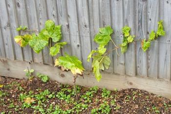 GrapePlant